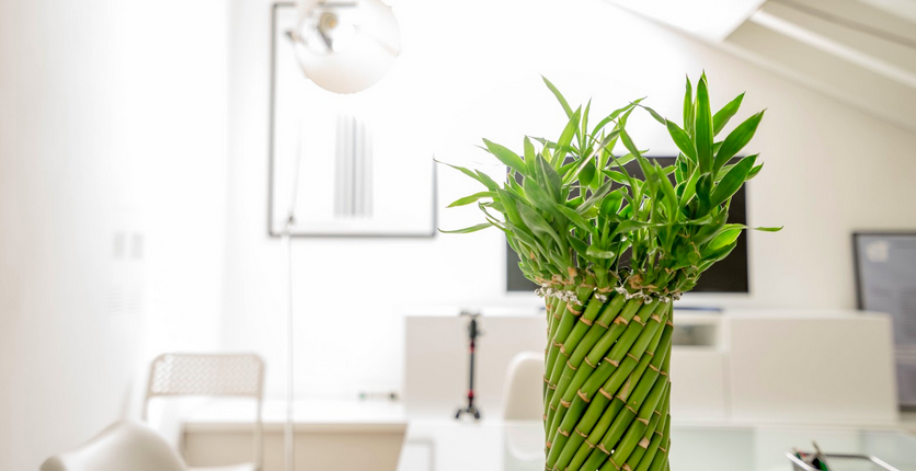 green bamboo in a white room